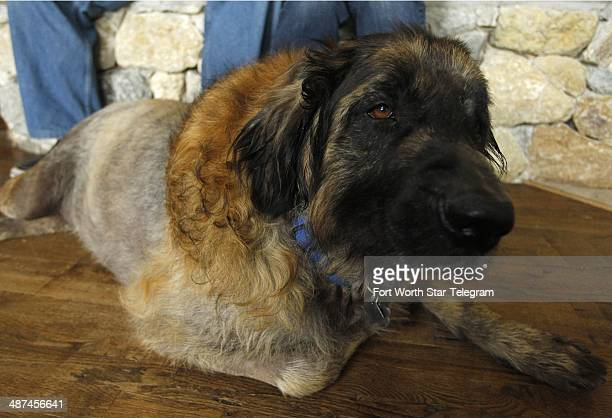 Sid a Leonberger belonging to Jamie and Marian Harris relaxes at home April 26 2014l in Aledo Texas He was reunited with the family after being...