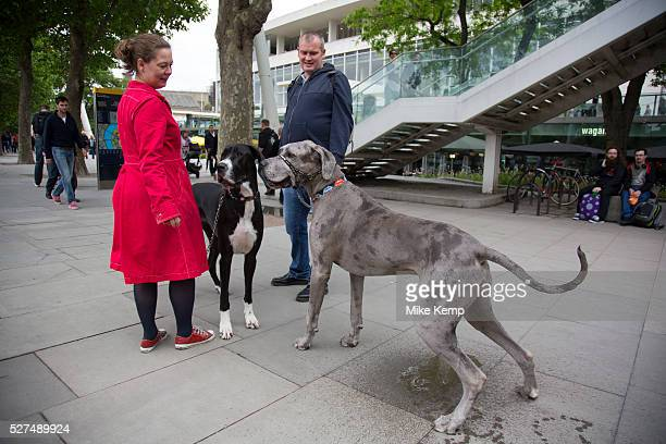 Sid the dog stops to use the bathroom as a couple walk their two Great Dane dogs along the riverside walkway Large pet owners Owen and Hanne walk...