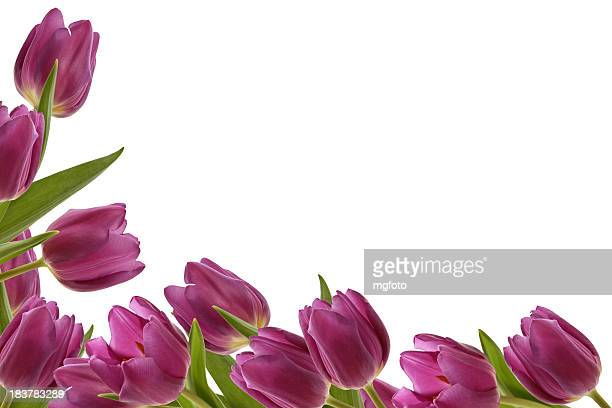 Side and bottom border of tulips on a white background
