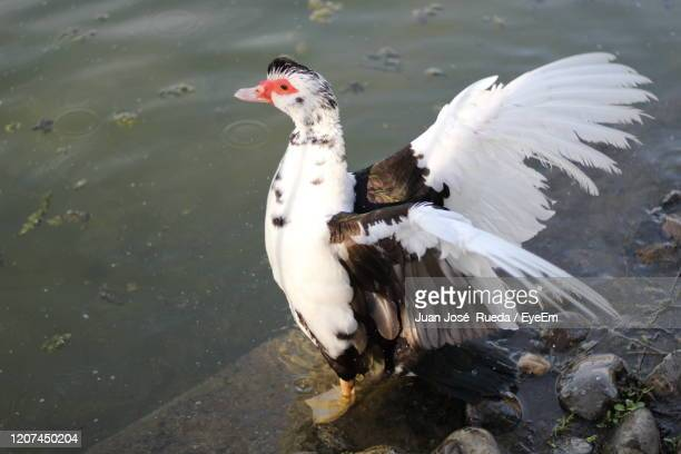 side angle view of bird in lake - muscovy duck stock pictures, royalty-free photos & images