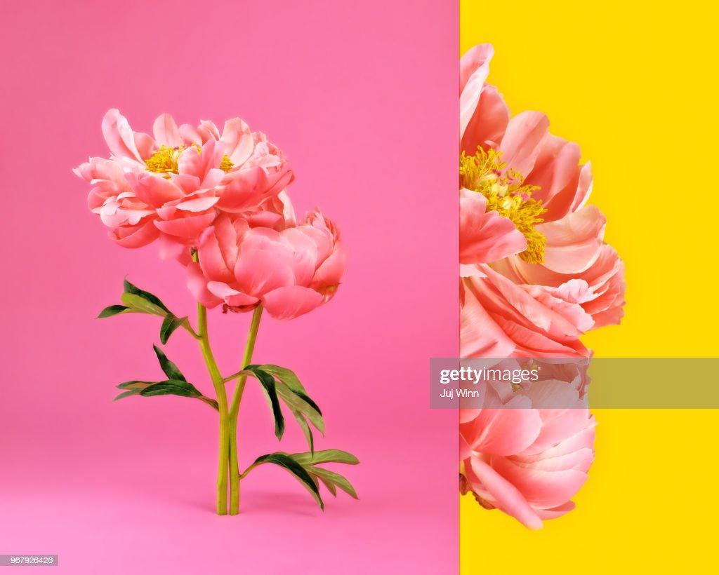 Side by side image of pink peonies in bloom : Foto de stock