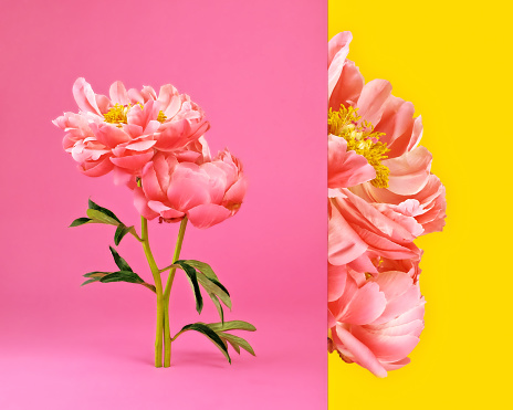 Side by side image of pink peonies in bloom - gettyimageskorea