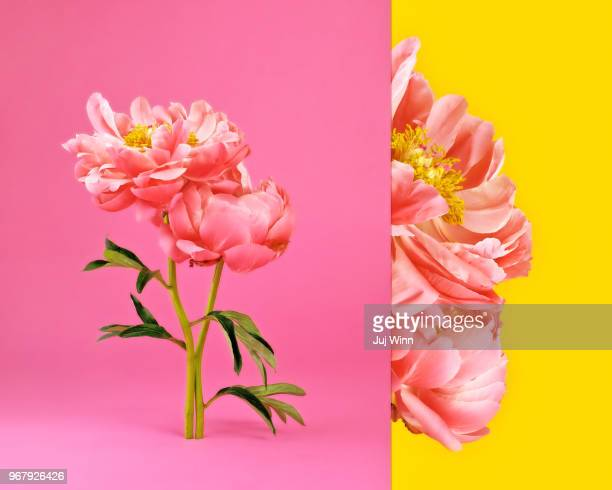 Side by side image of pink peonies in bloom