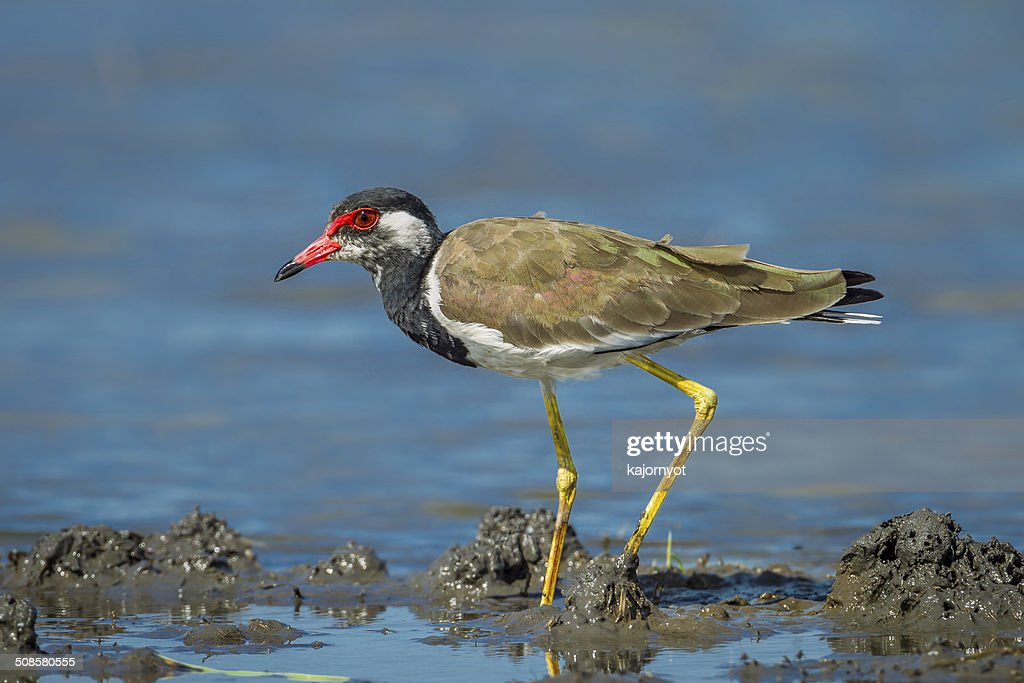 Side close up of Vanellus indicus : Stock Photo