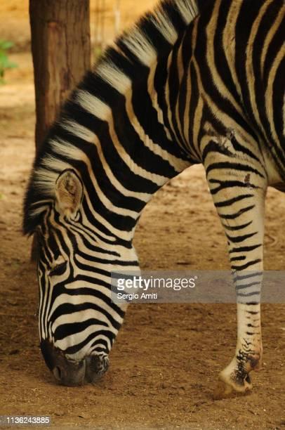Side detail of zebra