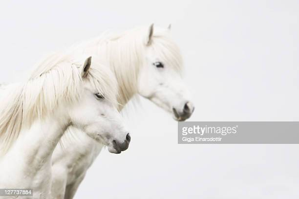 Side face of two white horse