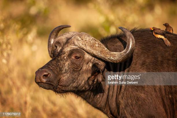 Side Medium Close-Up to the Face of a Buffalo While It's Looking Around as There Are Two Yellow Billed Oxpeckers Standing On Its Back