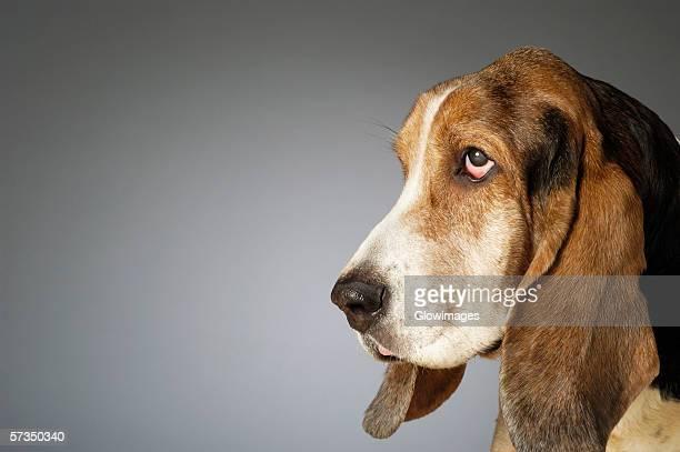 Side profile of a Basset Hound