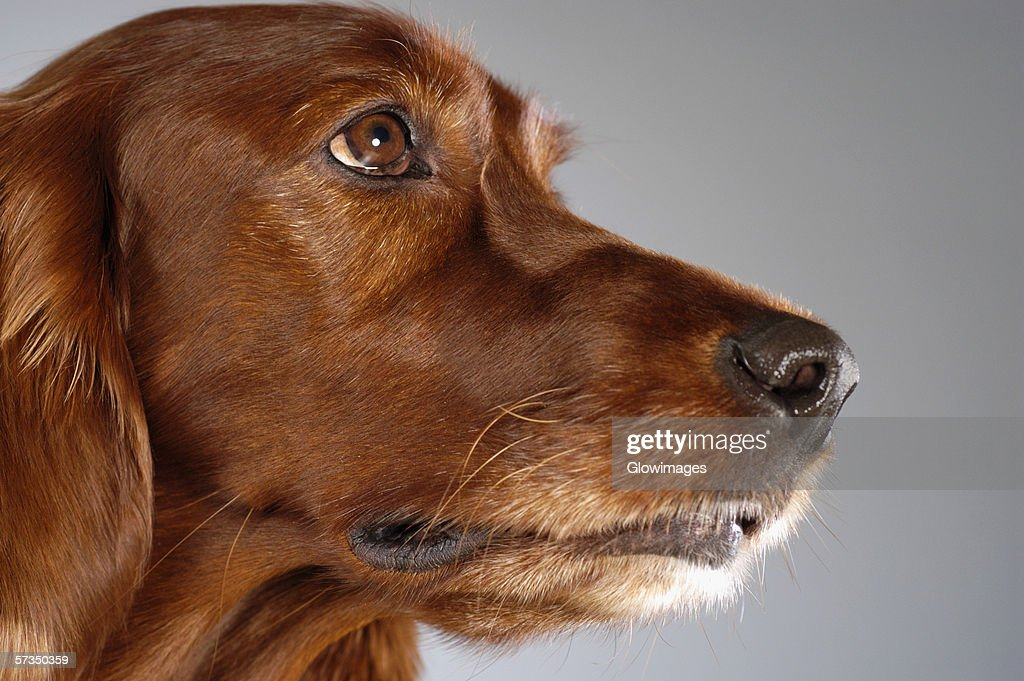 Side profile of a Cocker Spaniel's looking up : Foto de stock