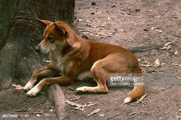 Side profile of a Dingo dog sitting