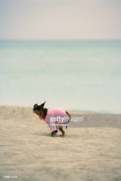 side profile of a dog defecating on the beach - defecare foto e immagini stock