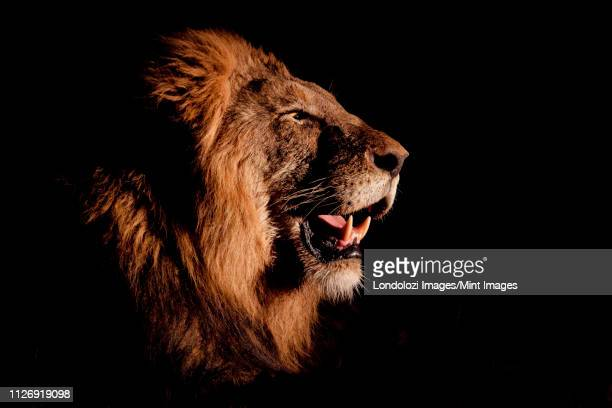 a side profile of a male lion's head, panthera leo, open mouth, lit up by spotlight, black background. - 自然保護区 ストックフォトと画像