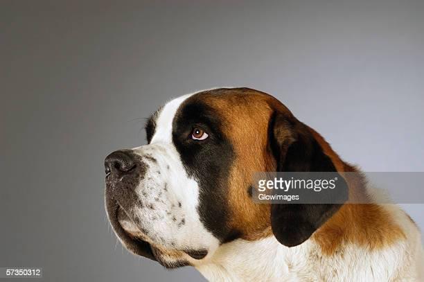 side profile of a st. bernard dog looking up - san bernardo fotografías e imágenes de stock