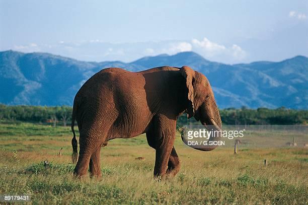 Side profile of an African Elephant walking in the forest Fothergill Island Kariba Zimbabwe