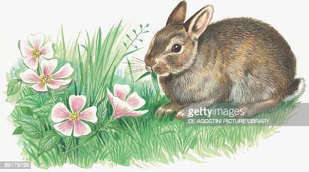 Side profile of an Eropean rabbit