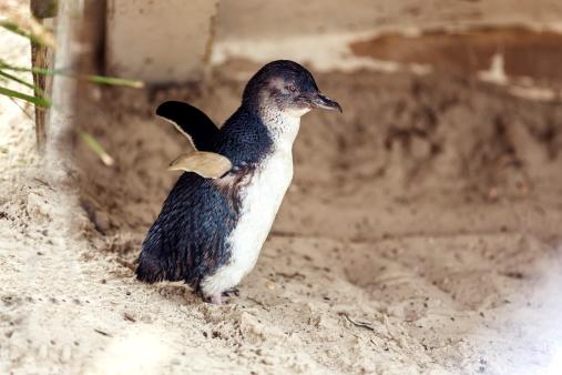 Side profile of little penguin 486666449