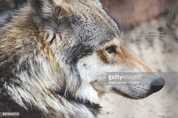 Side Profile Of Wolf