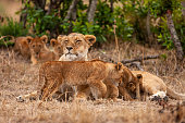 four lion cubs lioness are together