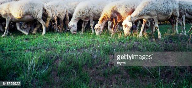 Side view and close-up  of a flock of grazing sheep in the countryside,Calabria,Italy