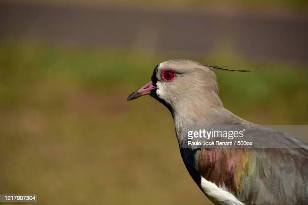 side view close up of a head of a bird, ribeirão preto, brazil - preto stock pictures, royalty-free photos & images