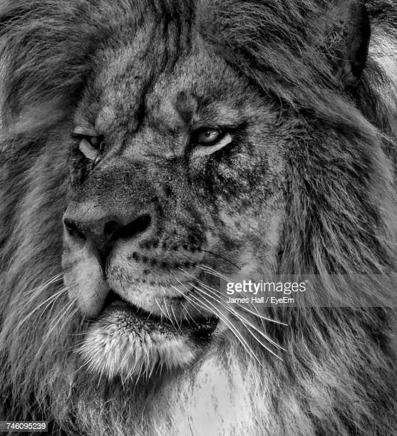 Side View Headshot Of Lion