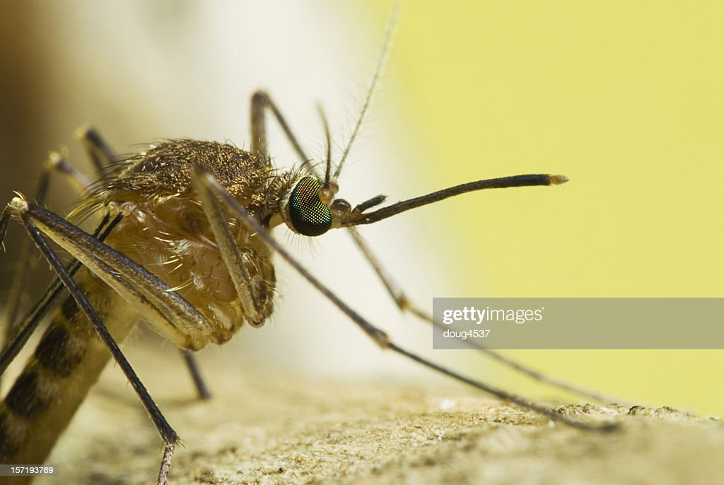 Side View Mosquito Portrait : Stock Photo