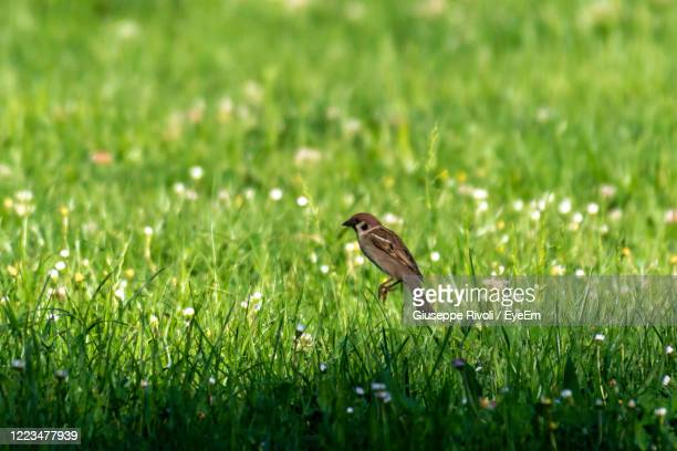 side view of a bird on field - nightingale stock pictures, royalty-free photos & images