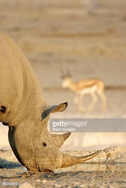 Side view of a Black rhino (Diceros bicornis) drinking at waterhole with Springbok (Antidorcas marsupialis) in the background. Etosha National Park, Namibia.
