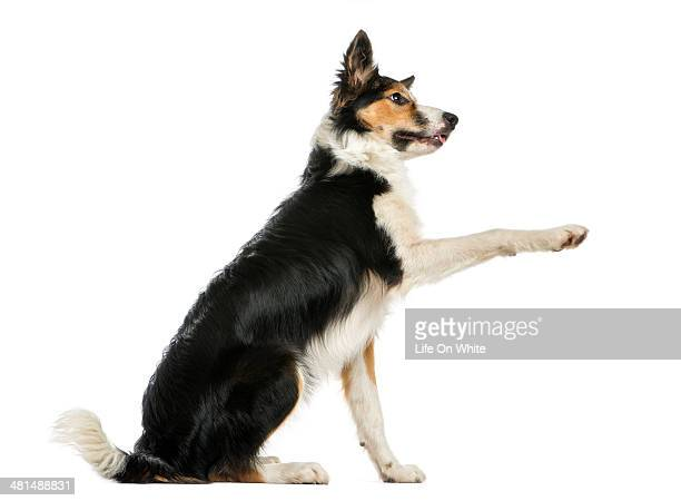 Side view of a Border collie pawing up