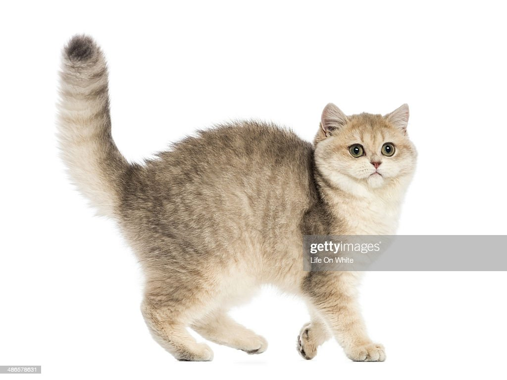 Side view of a British shorthair arching : Stock Photo