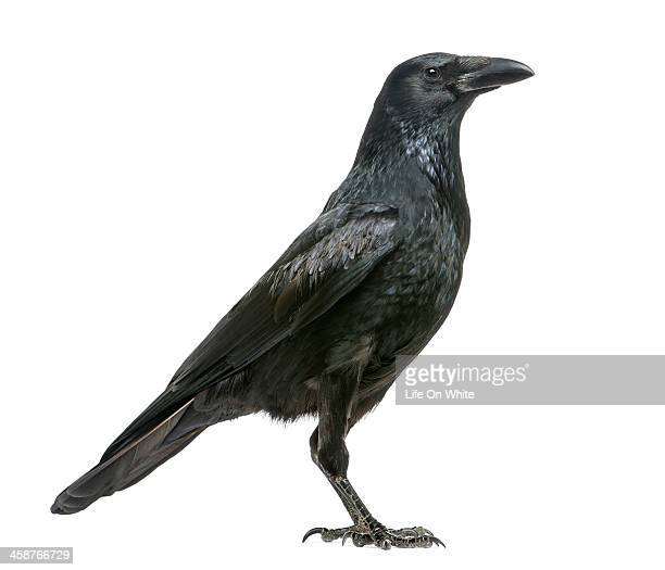 side view of a carrion crow, corvus corone - ravens stock photos and pictures