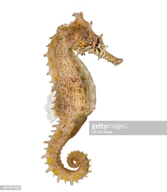 Side view of a Common Seahorse