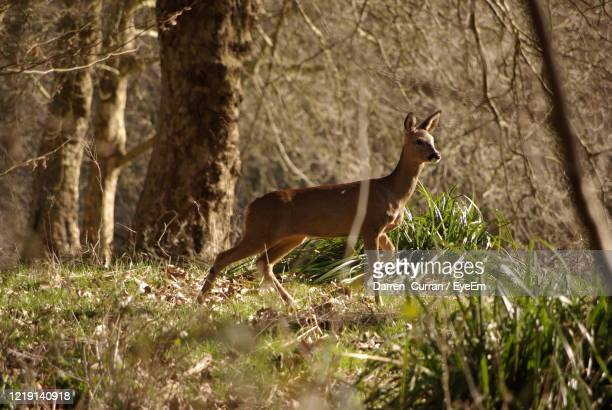 side view of a deer  in the forest - curran stock pictures, royalty-free photos & images