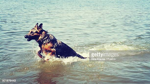 Side view of a dog swimming in water