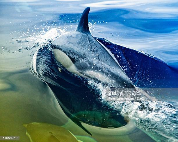 side view of a dolphin jumping in water - azores stock photos and pictures