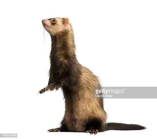 Side view of a Ferret standing on hind legs