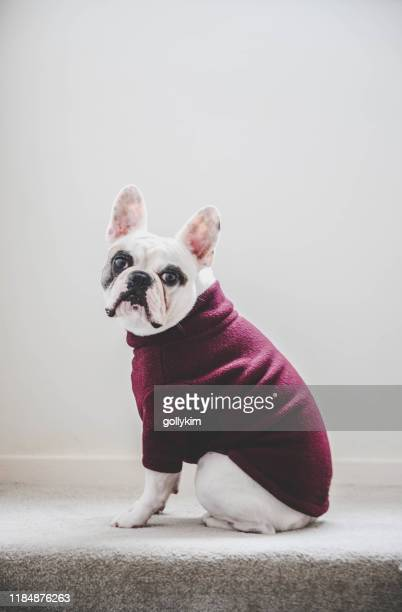 side view of a french bulldog wearing a turtle neck fleece jumper - neckline stock pictures, royalty-free photos & images