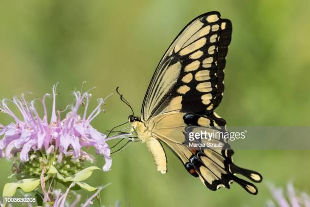 side view of a giant swallowtail butterfly - farfalla a coda di rondine foto e immagini stock