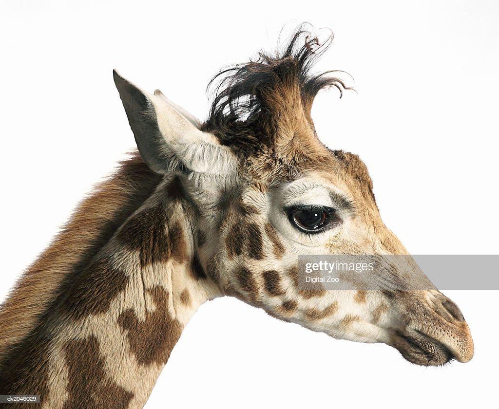 Side View of a Giraffe's Head : Stock Photo