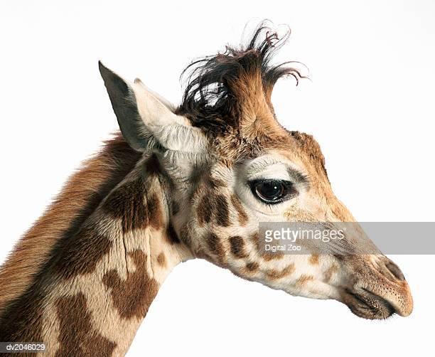 Side View of a Giraffe's Head