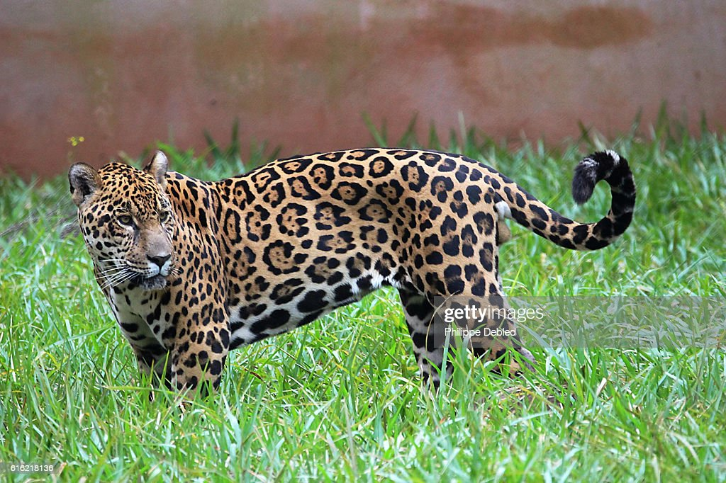 Side view of a Jaguar standing in the grass, Foz do Iguaçu, Paraná State, Brazil : Stock Photo