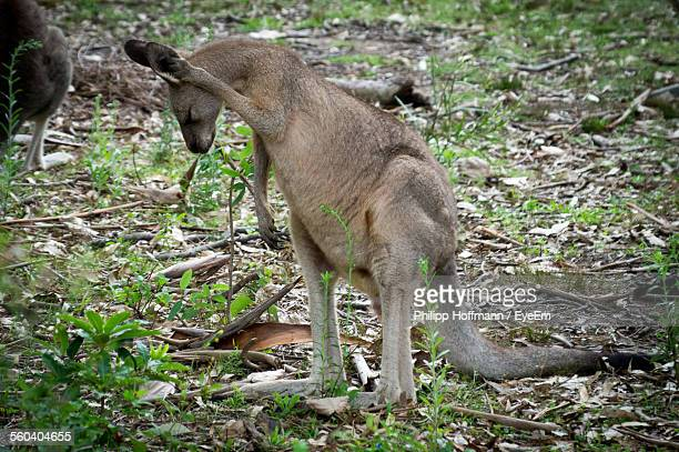 Side View Of A Kangaroo On Landscape