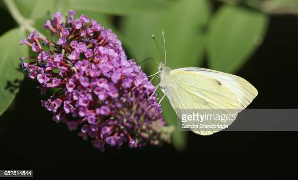 A side view of a Large White Butterfly (Pieris brassicae) nectaring on a Buddleia flower with its wings closed.