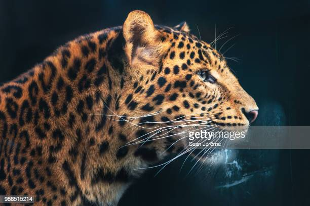 side view of a leopard at jardin des plants in paris, france. - leopard photos et images de collection