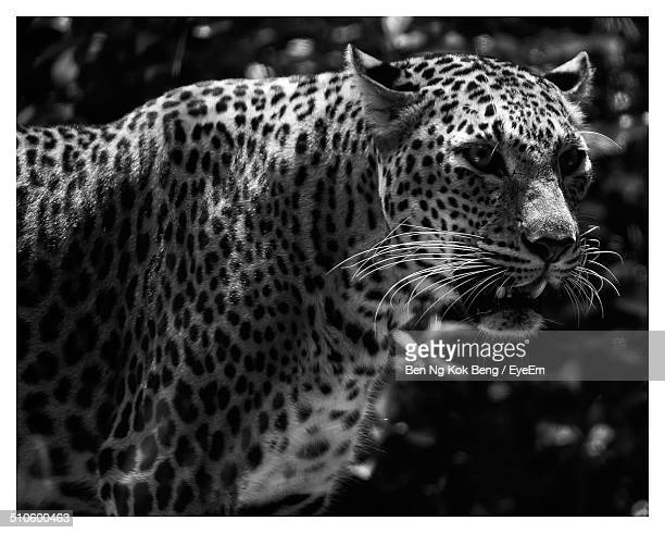 Side view of a leopard looking away