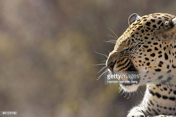 Side view of a Leopard (Panthera Pardus) snarling, Okonjima Lodge and Africat Foundation, Namibia.