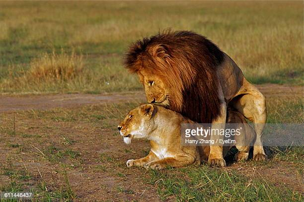 Side View Of A Lion And Lioness