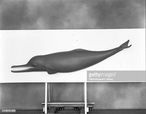 Side view of a model of a Ganges River dolphin Field Museum Chicago Illinois April 1945