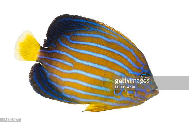 Side view of a Northern Angelfish