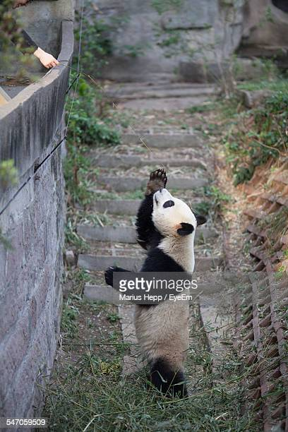 Side View Of A Panda Standing Outdoors